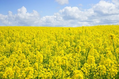 field of rapeseeds 474557 640