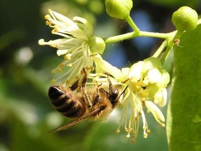 lipa pszczola