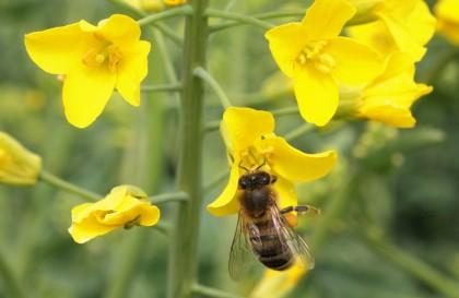 pszczola 008 2014